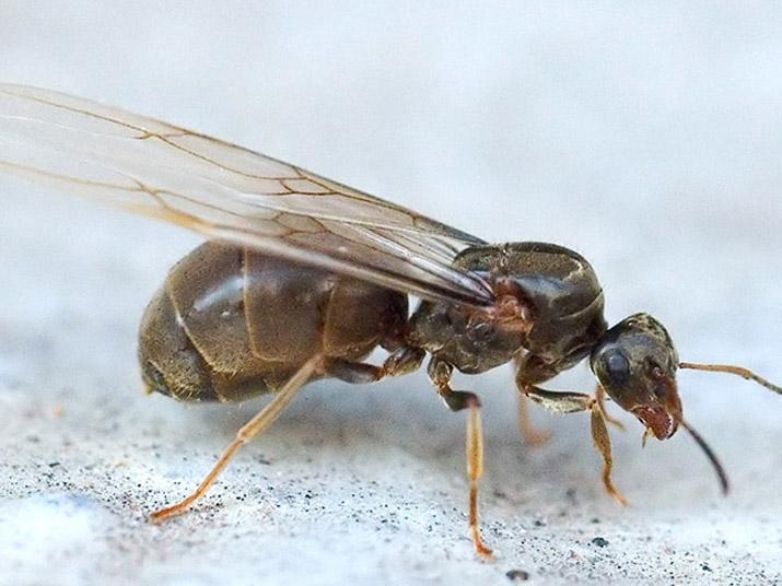 Фото летающего муравья крупным планом