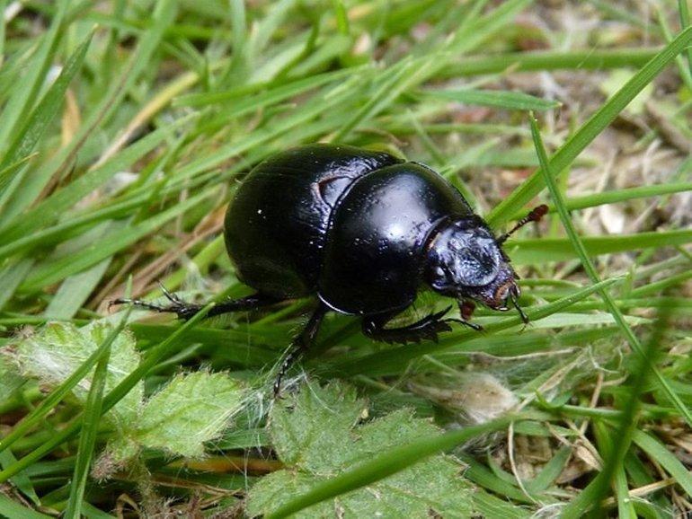 Основные характеристики жука-навозник