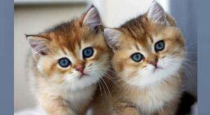 Мохнатые котята с голубыми глазами
