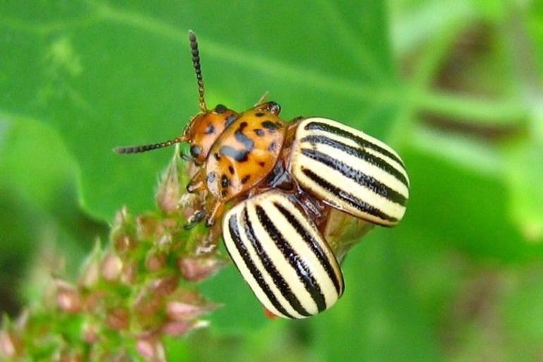 Колорадский жук борьба с ним народными средствами