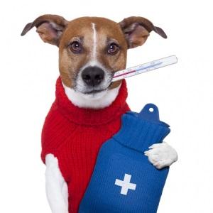 собачья температура