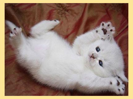 Котенок белый на спине
