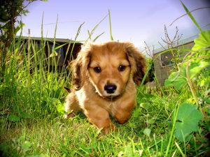 адаптация собаки на даче