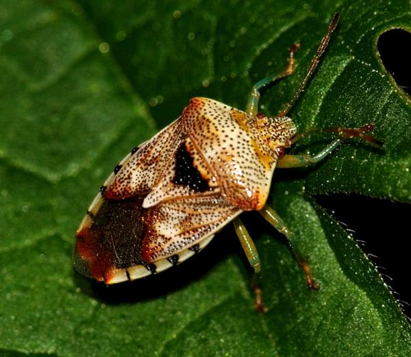 Щитник - настоящий зеленый паразит
