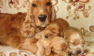 собака спаниель со щенками