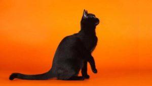 характеристика бомбейской породы кошек