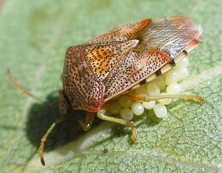 Черепашка оставляет на злаках кладку из яиц