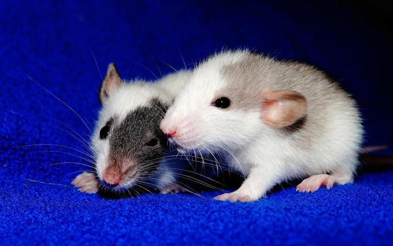Толкование сна про крыс
