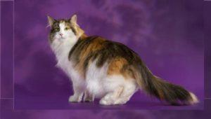 Норвежская лесная кошка – описание и характеристика породы:Как выглядит лесной норвежский кот- Подробности ухода +Видео