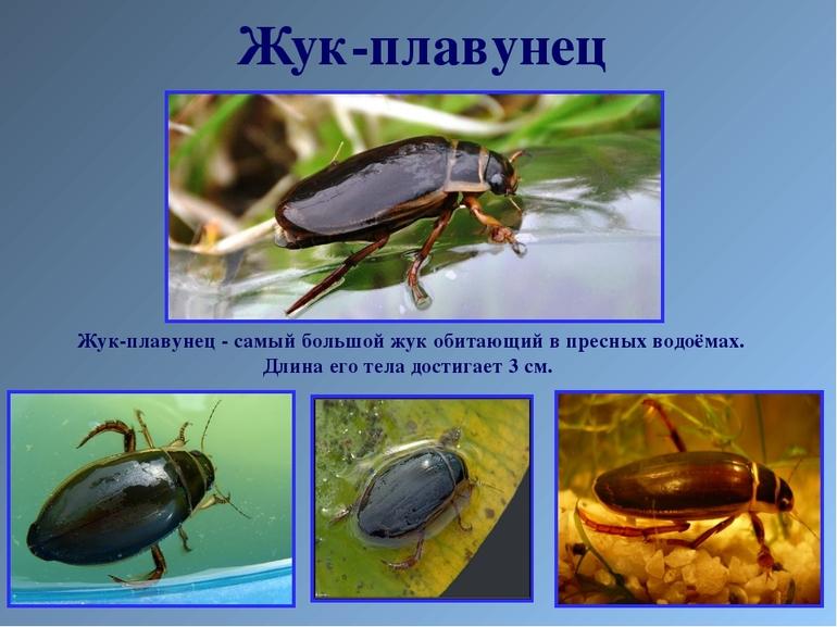 Интересные факты о жизни жука-плавунца