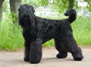 породы собак русский черный терьер