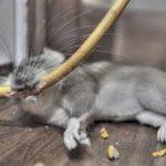 Мышь разгрызает покрытие кабеля