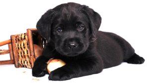 черный щенок лабрадор
