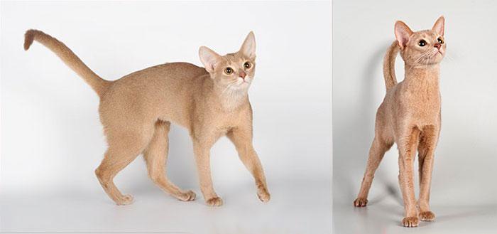 Фавн абисанские кошки