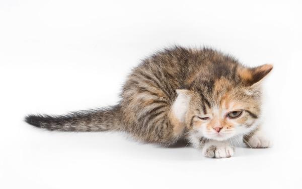Маленький котенок с блохами