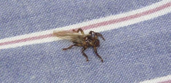Внешне лосиный клещ представляет собой мушку