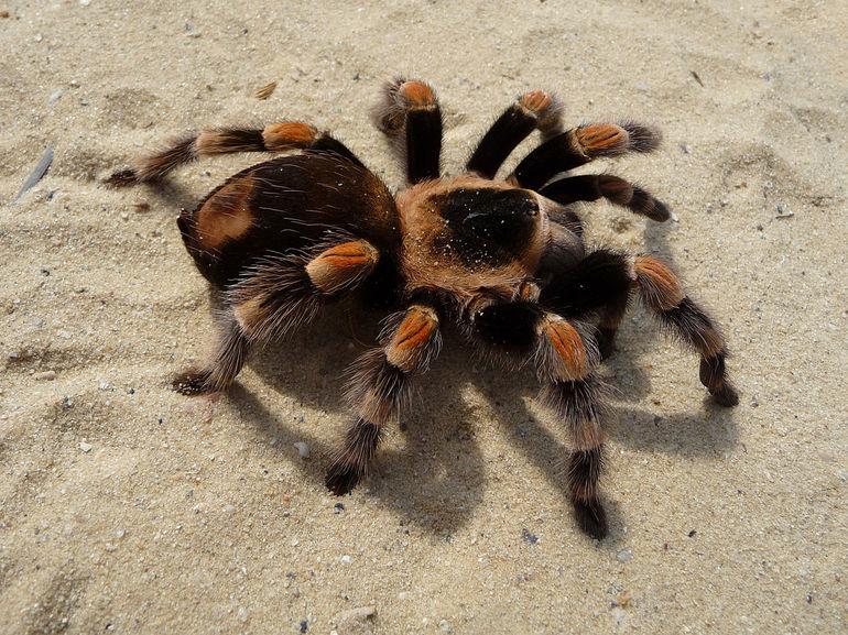 Фото паука тарантула