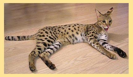 Кот ашера на полу