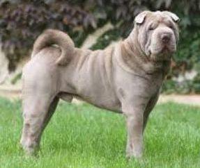 шарпей описание породы собак